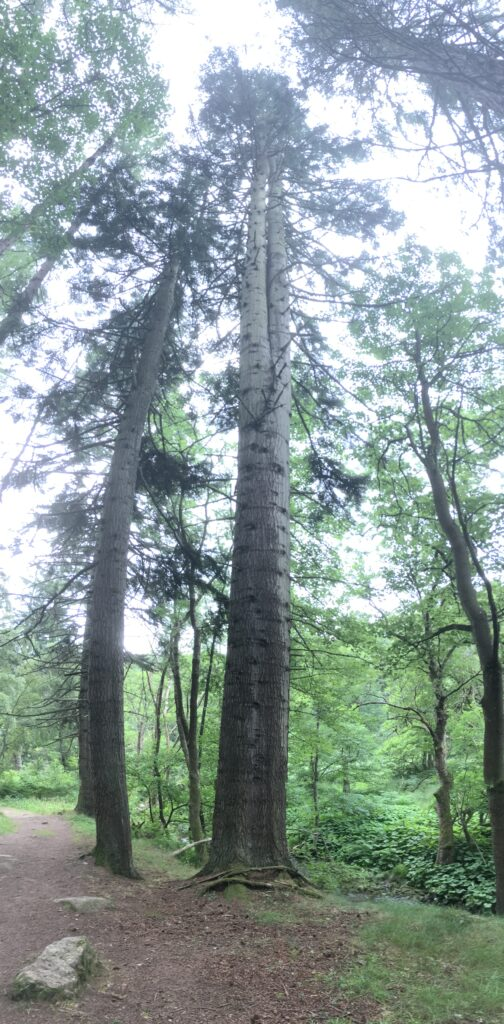 A very tall tree which forks twice